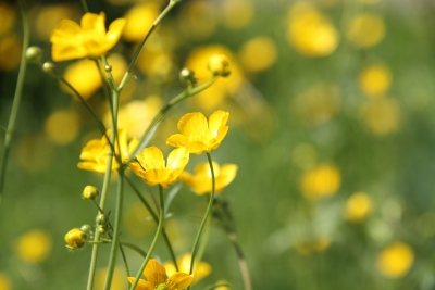 Buttercups 4