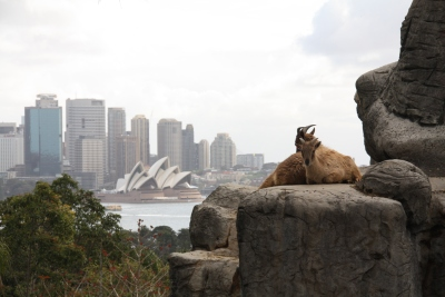 Goats with view of Sydney Harbour